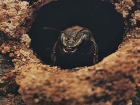 abejas sin aguijon melipona